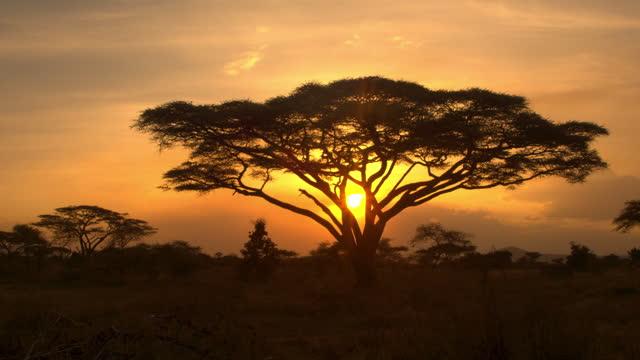 vidéos et rushes de silhouette: les rayons du soleil du soir d'été brillent sur les acacias dispersés dans la nature - arbre tropical