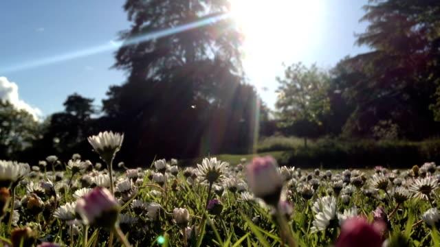 Summer Field Of Flowering Daises video