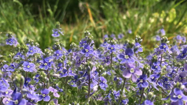 Summer flowering in a forest glade. Bright flowers of small size are swaying in the wind amid herbs in the meadow. video