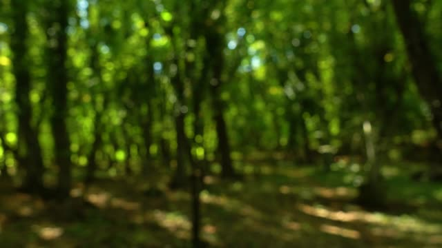 Summer forest bokeh blur from inside with sun peaking through leaves