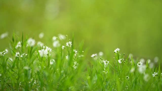 vídeos de stock e filmes b-roll de summer forest flowers blooming among green grass near ground. fresh fragrant white wildflowers grown on forest glade. slider shot, 4k - ambiente vegetal