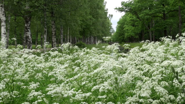 summer garden. avenues of birches and oaks grow along the channel with water. white flowers in the foreground - дубовый лес стоковые видео и кадры b-roll