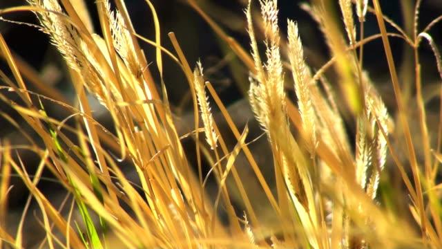 Summer Grass - HD 1080 video