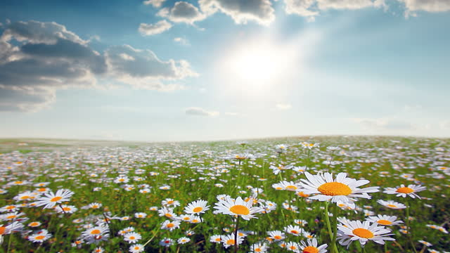 summer landscape. field of blooming daisies.