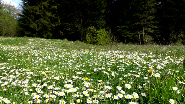 summer landscape, valley with camomile flowers surrounded by green forest - stelo video stock e b–roll