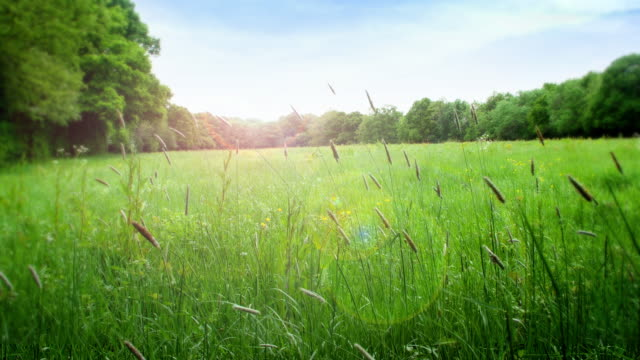 Summer meadow with long grass gently blowing in the wind. Long grass in a meadow, set against a blue sky with sunlight and lens flare. Lockdown. pasture stock videos & royalty-free footage