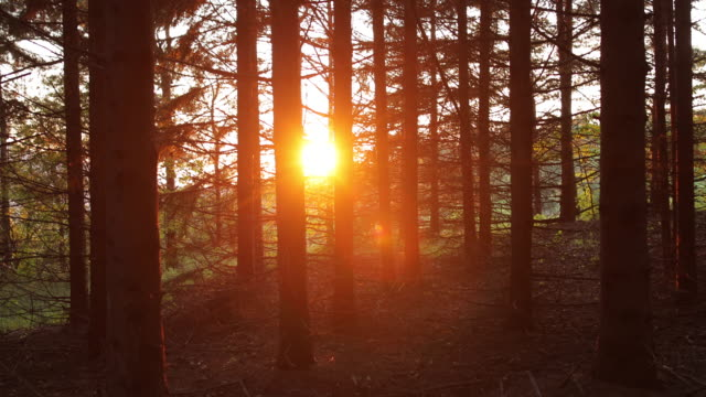 Summer Pine Forest In Sunny Day video