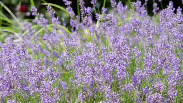 Bидео Summer purple lavender field