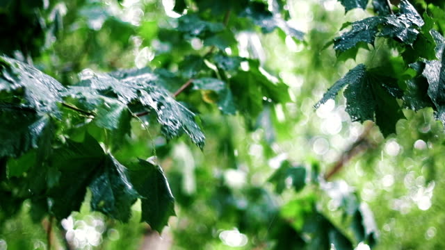 Summer Rain among Maple Trees Gushing Rain among Maple Trees in the Garden. Raindrops Hitting the Green Leaves. Slo-Mo. trees in mist stock videos & royalty-free footage