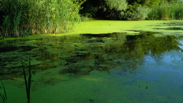 Summer river landscape View on river in green forest at summer morning duckweed stock videos & royalty-free footage