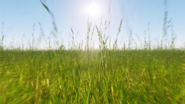Summer scene with the camera moving slowly through the long grass towards the bright sun in the distance - seamless looping