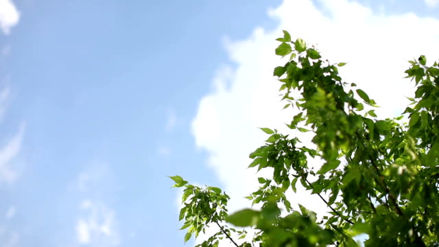 Summer sky and leaves video