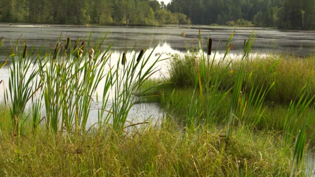 Summer sultry noon on shore of forest lake. Green reeds sway in wind. Calm summer landscape. 4K video