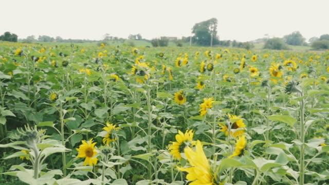 summer sunflower filed in Northern Ireland video