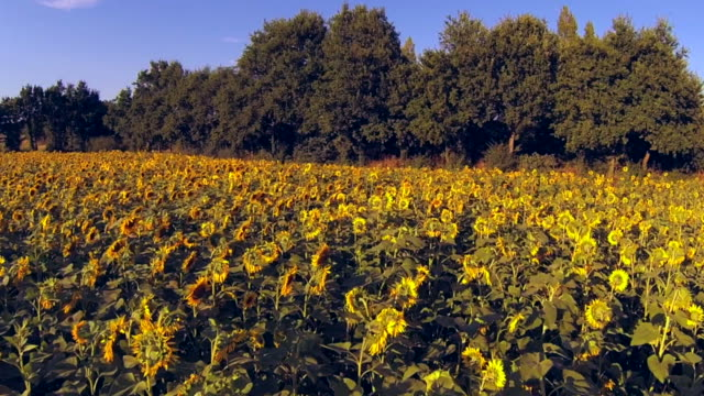 Summer Sunflowers During Sunset. video