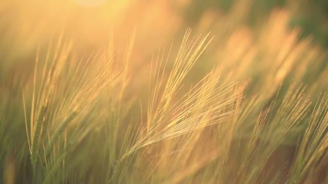vídeos de stock e filmes b-roll de summer sunny evening - vídeos de milho