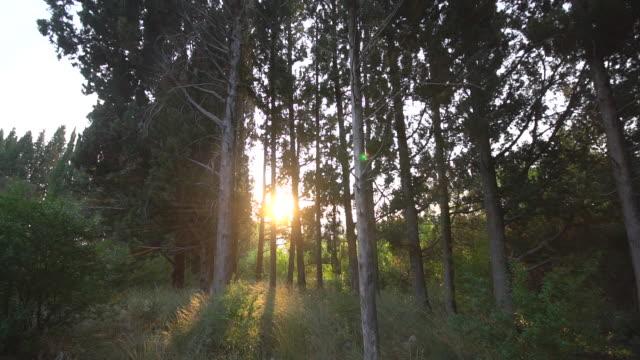 sommer sonnenuntergang im pinienwald - kiefernwäldchen stock-videos und b-roll-filmmaterial