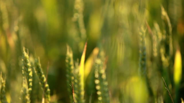 Summer Wheat Crops Field video