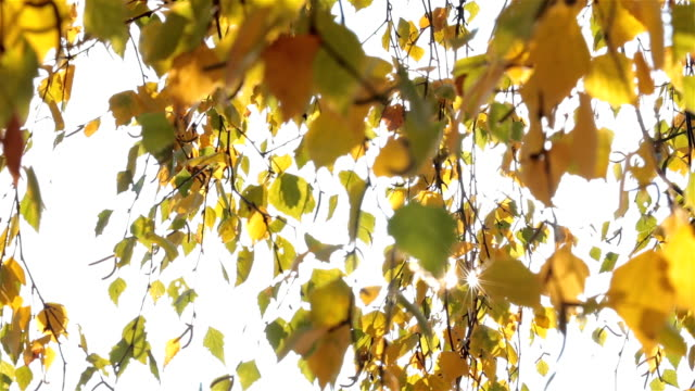 Sun and branches with birch leaves. video