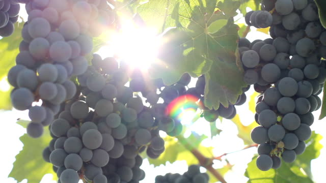 sun and the grape harvest video