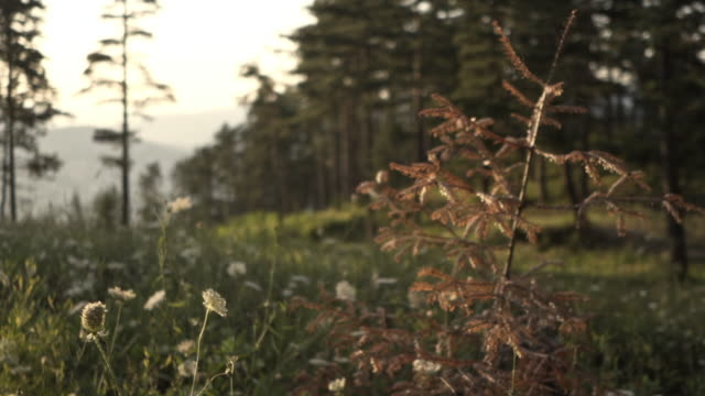 Sun beam and view of an uncultivated section of pine forest in a remote rural location