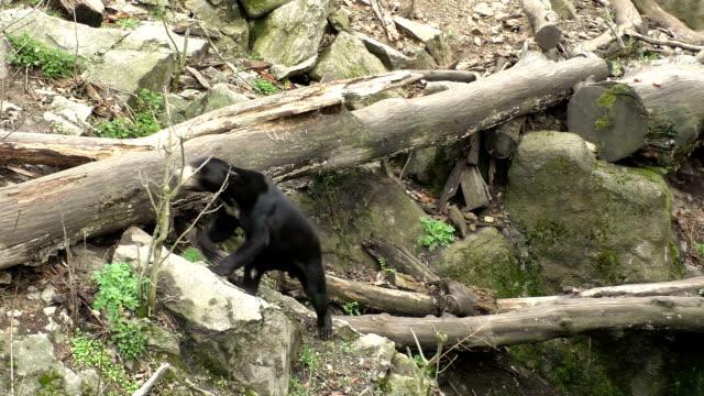 太陽のクマとして知られている、マレーシア (小さなマレーグマ) - クマ点の映像素材/bロール