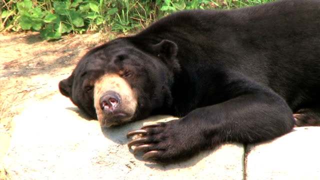 sun bear scratching head - bear stock videos and b-roll footage