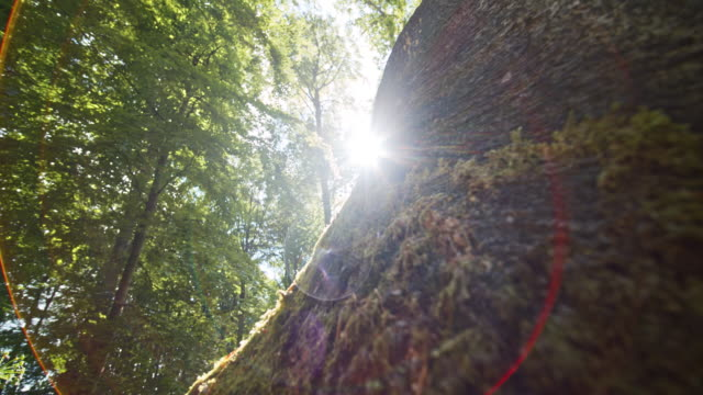 Sun Brightly Shining Glaring Upon the Large Tree in the Middle of the Forest Focused shot of an old and sturdy tree in the middle of the forest as it is surrounded by moss moss stock videos & royalty-free footage