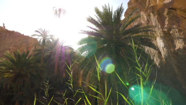 Sun flare through palm tree in Chebika oasis in canyon, Sahara desert Sun flare through palm tree in Chebika oasis in canyon, Sahara desert, Tunisia, North Africa. African view at sunny day desert oasis stock videos & royalty-free footage
