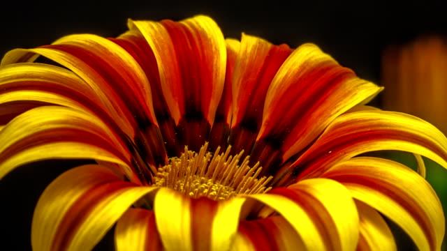 sun flower - gazania blooming in a time lapse hd 1080 video. - pistillo video stock e b–roll