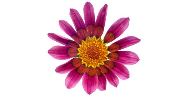 sun flower - gazania che sboccia in un video time lapse su uno sfondo bianco. canale alfa incluso. - capolino video stock e b–roll