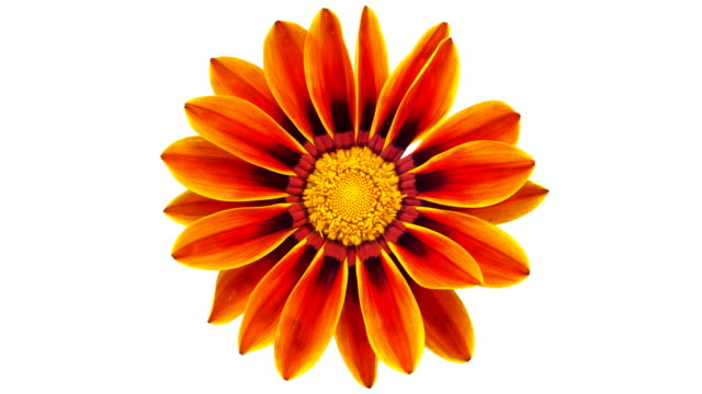 sun flower - gazania blooming in a time lapse video on a white background. alpha channel included. - в цвету стоковые видео и кадры b-roll