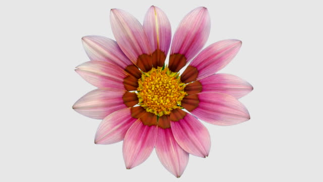 Sun Flower - Gazania blooming in a time lapse video on a white background. Alpha channel included. video