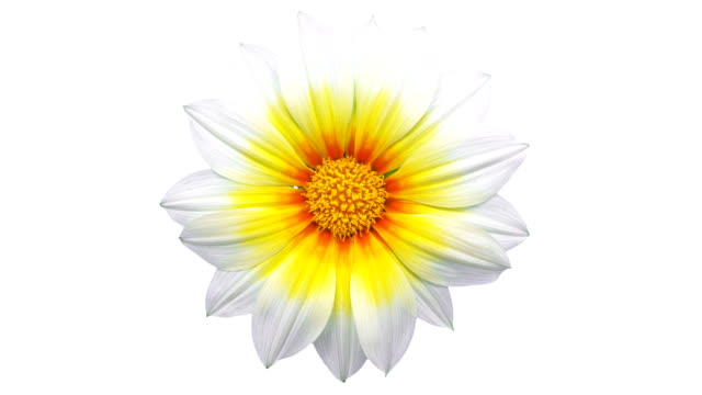 sun flower - gazania blooming in a time lapse video on a white background. alpha channel included. - pyłek filmów i materiałów b-roll