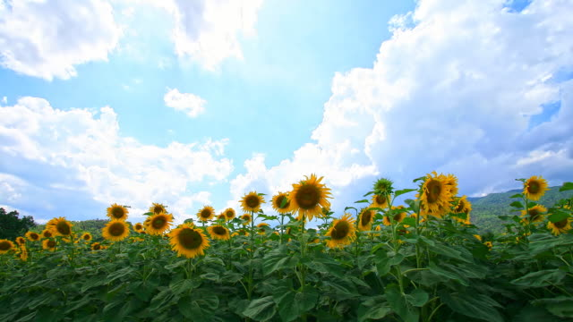Sun Flowers video