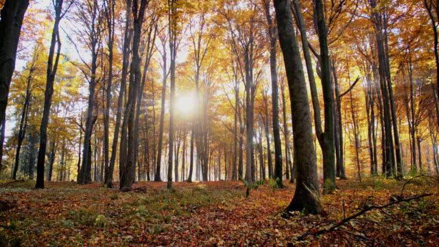 SLO MO Sun hiding behind autumn trees video