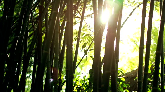 sun lens flare effect and sun light rays through bamboo trees video