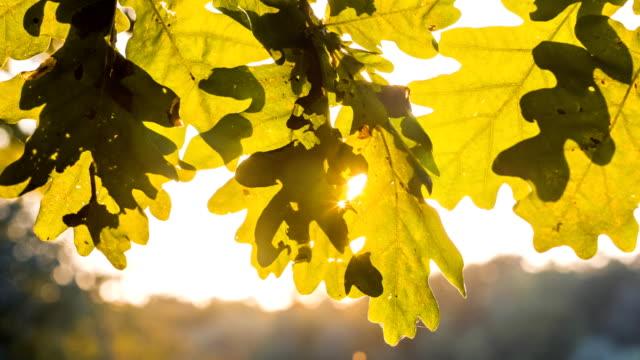 sun light flares playing through oak tree leaves. slightly pen motion - дуб стоковые видео и кадры b-roll