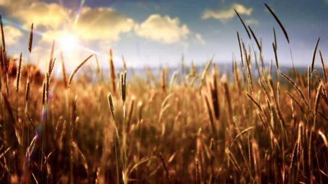Sun over windy field Golden crops in wind. Moving clouds and sun. Shallow depth of field. wheat stock videos & royalty-free footage