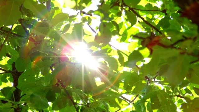 スローモーション被写し界深度をクローズ アップ: 緑を通じてピーク太陽樹冠葉します。 - 木漏れ日点の映像素材/bロール