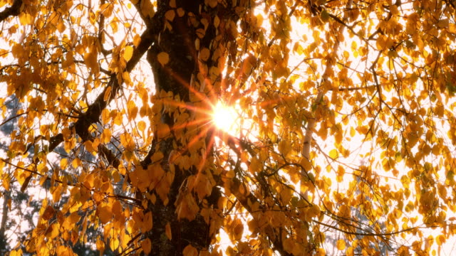 Sun peeking through the yellow colored autumn leaves