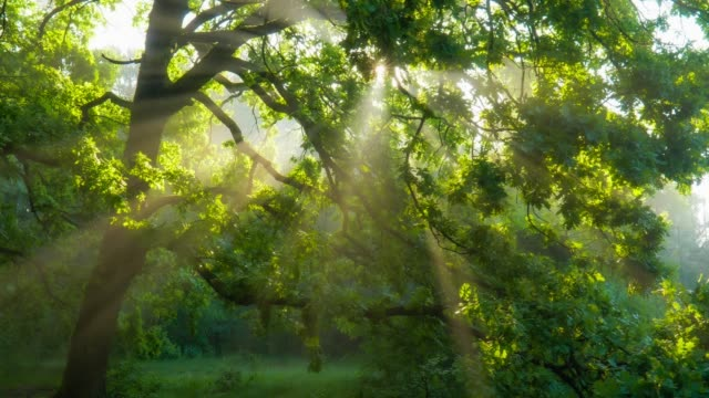sun rays emerging though the green tree branches. magical forest with warm sunbeams illuminating green oak tree. gimbal high quality shot - дубовый лес стоковые видео и кадры b-roll
