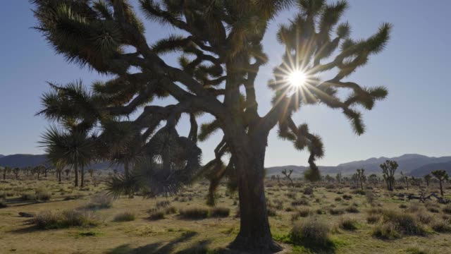 Sun rays getting through branches of a Joshua tree (aka yucca palm) in Joshua Tree National Park, California, USA.  UHD