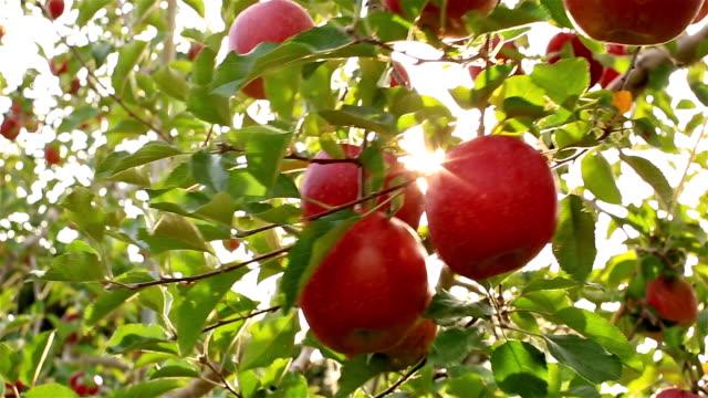 Sun rays go through apple tree. video
