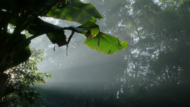 Sun rays in jungle causing plant to steam Sun rays shining through the jungle causing a leaf to emit steam vascular plants stock videos & royalty-free footage