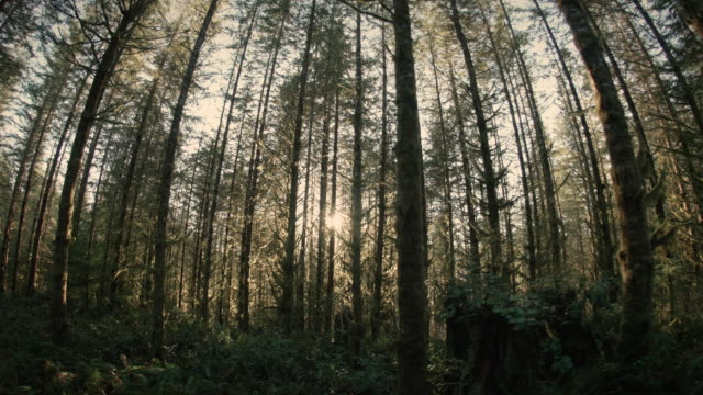 Sun Rays in Mossy Forest Trees for Texture Background with Stabilized Motion video
