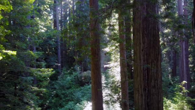 Sun rays trough Redwoods Forest Descending dolly crane movement 4K video