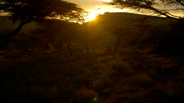 AERIAL: Sun setting behind acacia trees in Africa video