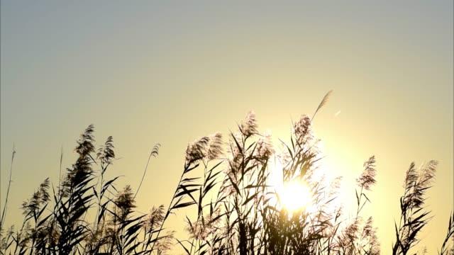 sun setting over cane field in spain. canes silhouettes at sunset. - podświetlony filmów i materiałów b-roll