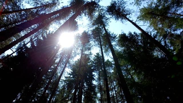 sonne unter pinien, fichtenwald, pine forest, märchenwald, unberührten fichtenwaldes, 4 k steadicam bewegung - kiefernwäldchen stock-videos und b-roll-filmmaterial